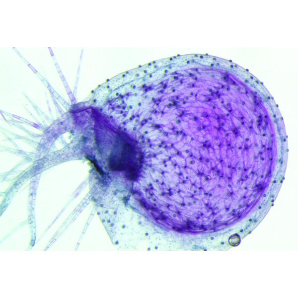 Utricularia gibba bladderwort trap stained with toluidine blue to show quadrifid glands inside